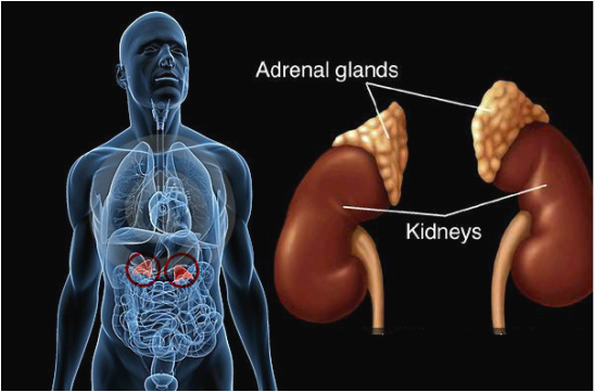 Kidneys and the Human Body